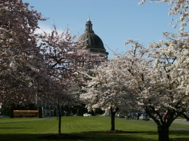 Cherry trees on the Capitol Campus Photo: Micki McNaughton, DNR