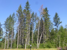 Douglas Fir trees are showing drought damage around Washington state. Photo Glenn Kohler/DNR