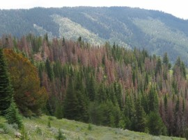 In 2016, DNR and the USFS discovered more than 450,000 acres of insect and disease damage in Washington's forest. Photo DNR