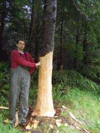 bear tree damage