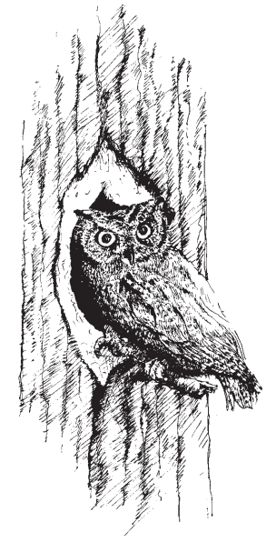 Screech Owl Illustration
