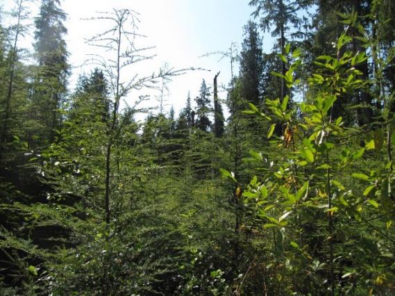 Young western hemlock trees growing in a gap
