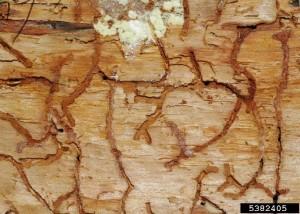 Western pine beetle egg galleries