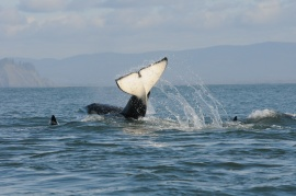 Orca populations in Puget Sound are at a 30-year low. (Photo by Candice Emmons, NOAA Fisheries)