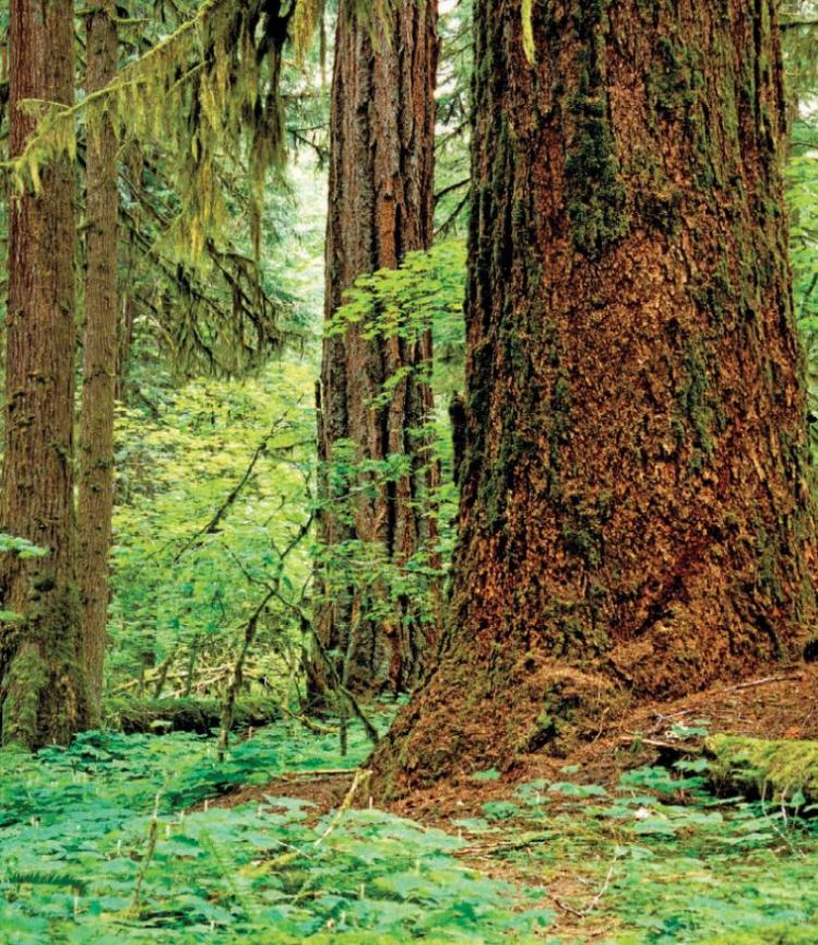 A mature (300-400 years old) Western Washington forest, a mature forest is characterized by towering Douglas firs with hemlocks present in all size classes, from juveniles to large canopy trees.