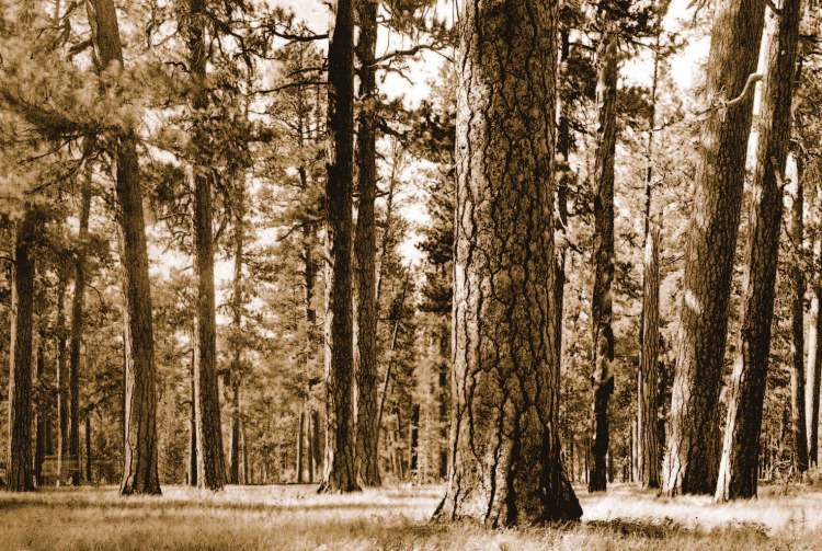 Historical photographs often show open, park-like stands of ponderosa pine, such as this one from the Blue Mountains