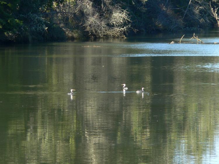 ChehalisRivSurgePlainNAP-grebes-BlueSlough--BDavenport-Feb-2012