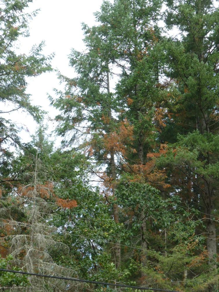 drought stress on a Douglas-fir
